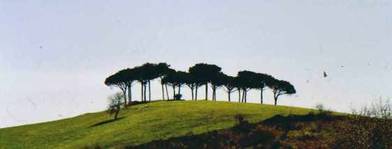 Pinus_pinea_Italy88